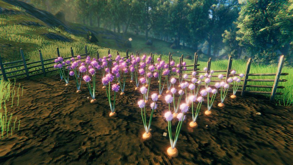 Zwiebelfeld mit tollen Blüten